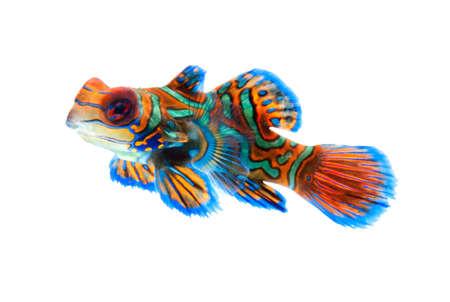 mandarin dragonet fish isolated on white backgound
