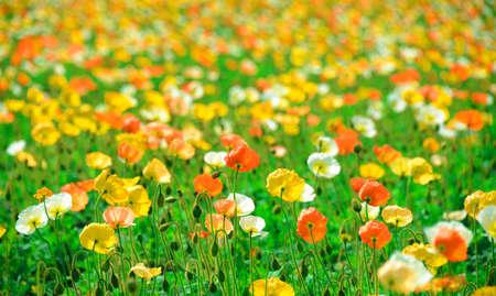 poppy flower field in spring