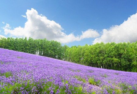 Photo for Lavender field and blue sky in summer at furano hokkaido japan - Royalty Free Image