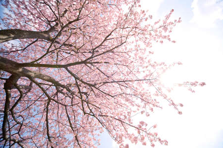 Cherry blossom in japan on springの写真素材