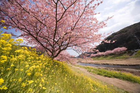 Cherry blossoms and yellow flowers.の写真素材