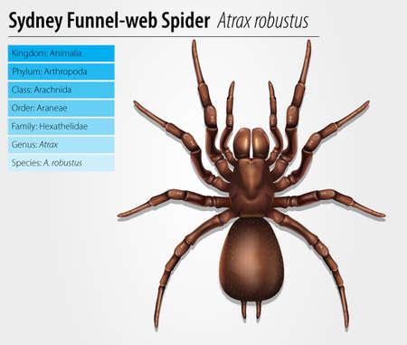 Sydney funnel-web spider - Atrax robustus