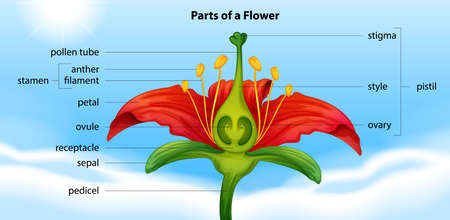 Illustration showing the anatomy of a flower