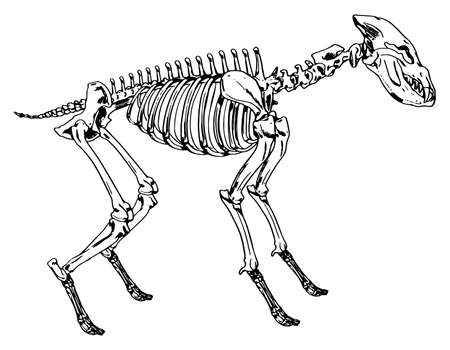 Illustration showing the skeleton of a hyena