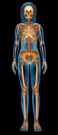 Illustration pour Illustration of the human skeletal system - image libre de droit