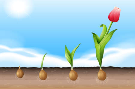 Illustration showing a growing tulip
