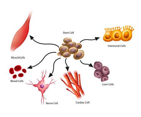 Illustration showing the stem cells