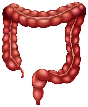 Large intestine poster with white background