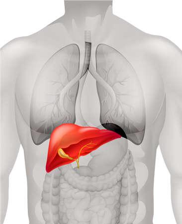 Foto de Human liver in body illustration - Imagen libre de derechos