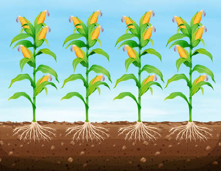 Corn planting on the ground illustration