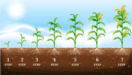 Illustration for Growing corn on the ground illustration - Royalty Free Image