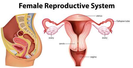 Illustration pour Diagram showing female reproductive system illustration - image libre de droit