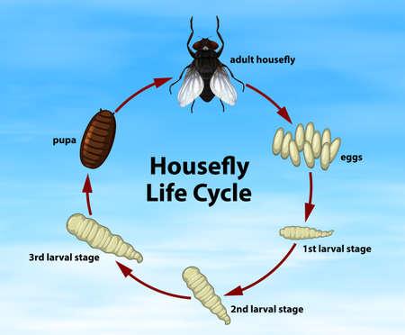 Ilustración de Science housefly life cycle. Vector illustration - Imagen libre de derechos