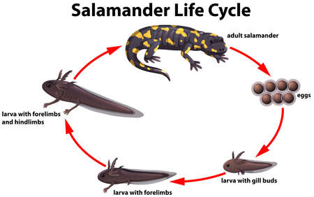 Photo for Salamander life cycle concept illustration - Royalty Free Image
