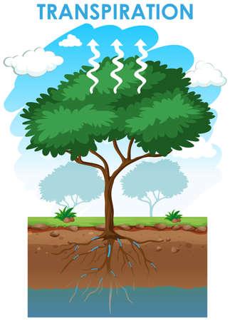 Illustration for Diagram showing transpiration of tree illustration - Royalty Free Image