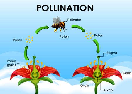 Ilustración de Diagram showing pollination cycle illustration - Imagen libre de derechos