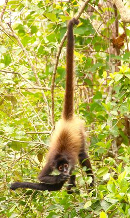 Foto de monkey hanging in the trees - Imagen libre de derechos