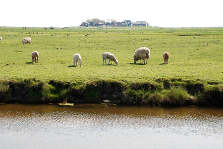 Sheeps on the Hallig Hooge, Germany. The Halligen (singular Hallig) are ten small German islands without protective dikes in the North Frisian Islands on Schleswig-Holstein's Wadden Sea-North Sea coast in the district of Nordfriesland