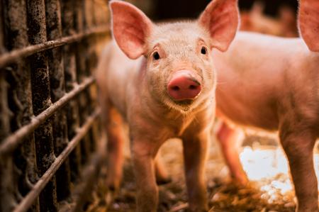 Photo pour Portrait of funny looking piglet - image libre de droit