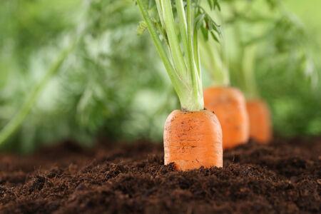 Foto für Healthy eating ripe carrots in vegetable garden in nature - Lizenzfreies Bild