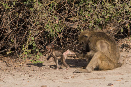 Baboons have family social time, Botswana, 2015