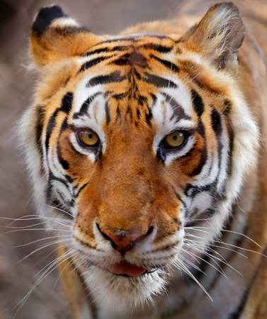 Close up of a white, brown and black striped tiger