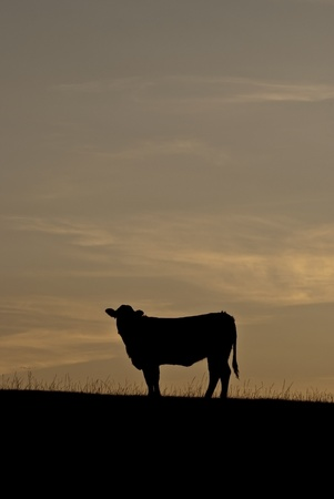 Steer on a hill silhouetted against the sunset