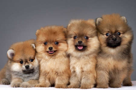Four puppies of the purebred pomeranian-dog