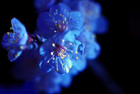 A macro photo of a blossoming apricot flower on a black background