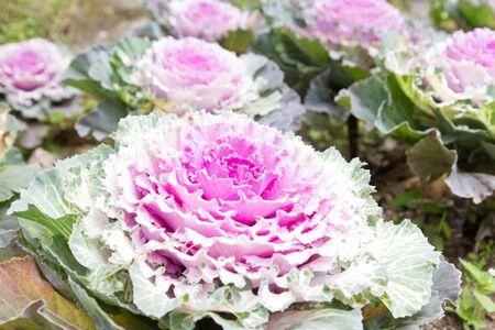 Purple decorative cabbage