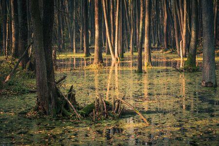 Photo pour Swamp and backwaters of the Struga River near Piaseczno, Masovia, Poland - image libre de droit