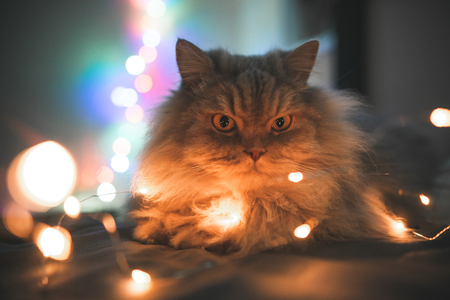 Photo pour Close-up photo of beautiful, gray, fluffy, adult cat, lying on a bed of lights bokeh. Pet lays on the bed in the Christmas garland, background of the lights. Fluffy cat at night in the bedroom lights - image libre de droit