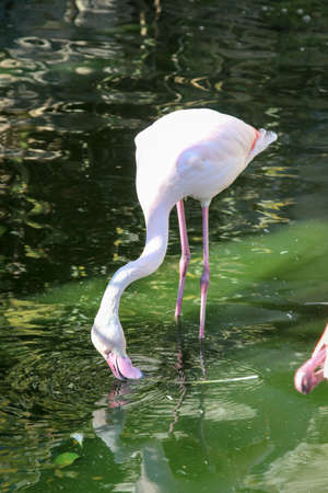flamingos looking for food in the green water