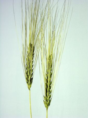 Two yellow wheat ears. Parallel ears on light blue. (stock photo)