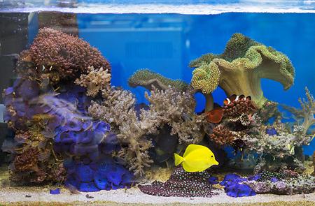 Photo for View at beautiful zebrasoma salt water aquarium fish - Royalty Free Image