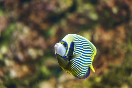 Photo pour Emperor angelfish (Pomacanthus imperator) in the water - image libre de droit