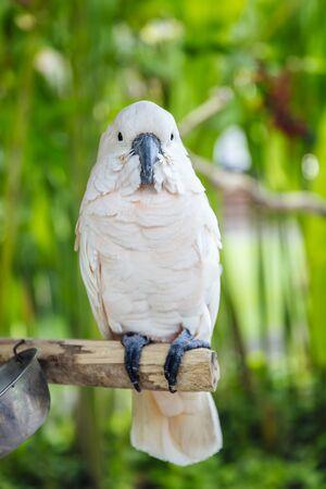 Photo pour View at White cockatoo (Cacatua alba) in the tropical forest - image libre de droit