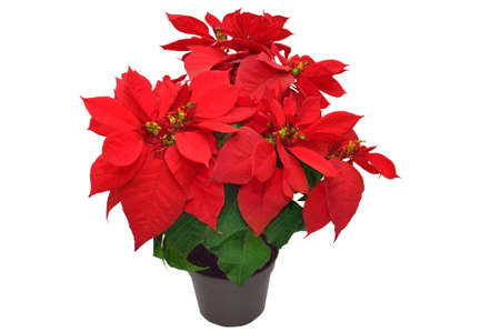 red poinsettia. beautiful christmas flower on white background