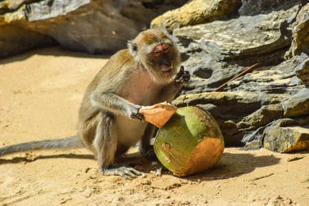 A satisfied monkey is enjoying his coconut.