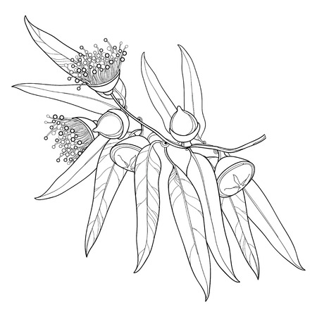 Illustration pour Bunch with outline Eucalyptus globulus or Tasmanian blue gum, fruit, flower, leaves isolated on white background. Contour Eucalyptus branch for cosmetic, herbs, medical design, coloring book. - image libre de droit