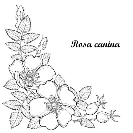 Branch with outline Dog rose or Rosa canina, medicinal herb. Flower, bud, leaves and hip isolated on white background. Ornate wild rose in contour style for summer design and coloring book.