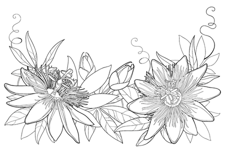 Garland with outline tropical Passiflora or Passion flowers, bud, leaves and tendril isolated on white background. Ornate floral elements in contour style for summer design and coloring book.