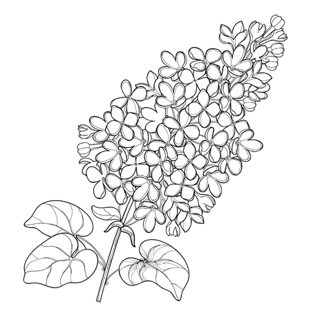 Branch with outline Lilac or Syringa flower bunch and ornate leaves in black isolated on white background. Blossoming garden plant Lilac in contour style for spring design and coloring book.