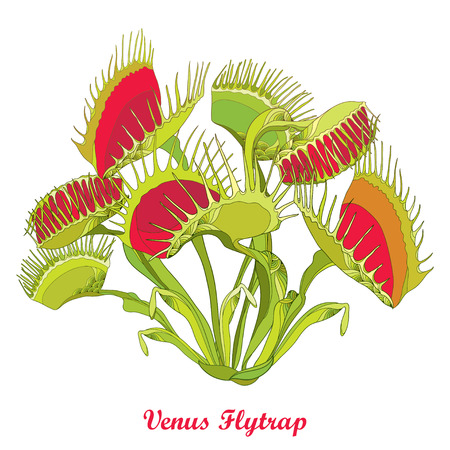 Ilustración de Drawing of Venus Flytrap or Dionaea muscipula with open and close trap in red and green isolated on white background. Carnivorous tropical plant Venus flytrap in contour for botany design. - Imagen libre de derechos