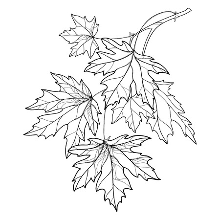 Illustration for Branch with outline Acer or Maple ornate leaves in black isolated on white background. Composition with foliage of Maple tree in contour style for autumn design or coloring book. - Royalty Free Image
