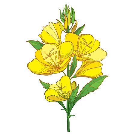 Illustration pour Bouquet of Oenothera or evening primrose isolated. - image libre de droit