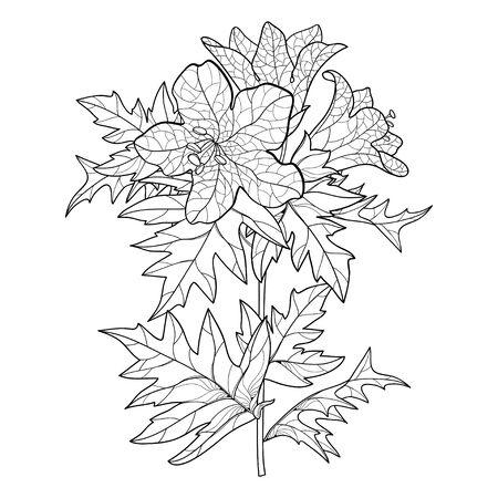 Illustration pour Hyoscyamus or Henbane flower and leaf isolated. - image libre de droit