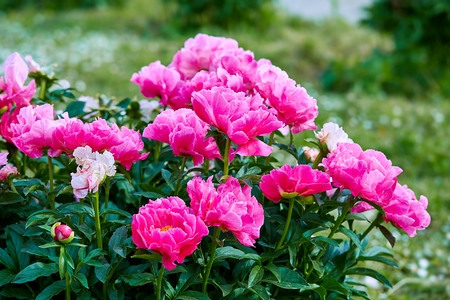 Photo pour Pink red sunny peony flowers in botanical garden in spring in Moscow - image libre de droit
