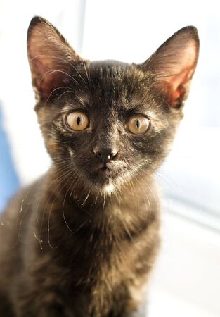 Chocolate kitten sits in front of the window and looks up, photo. Orange eyes, place for an inscription, picture for design