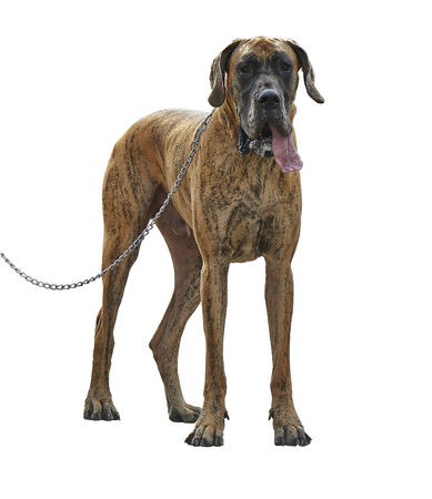 A large Great Dane dog standing with leash. Isolated on white.